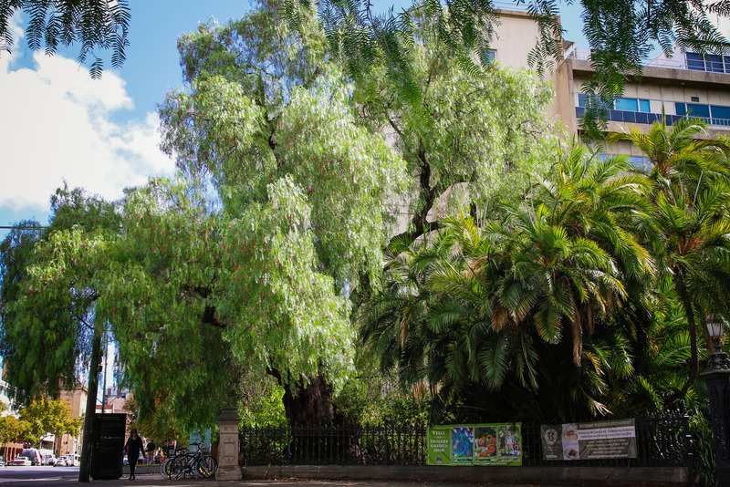 Pepper Tree, Adelaide Botanic Garden