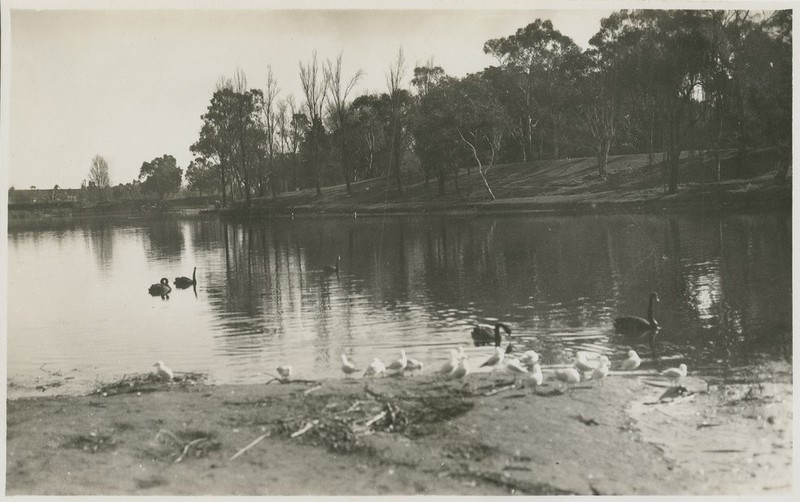 Swans and gulls on Torrens' Lake looking across to Pinky Flat, 1938