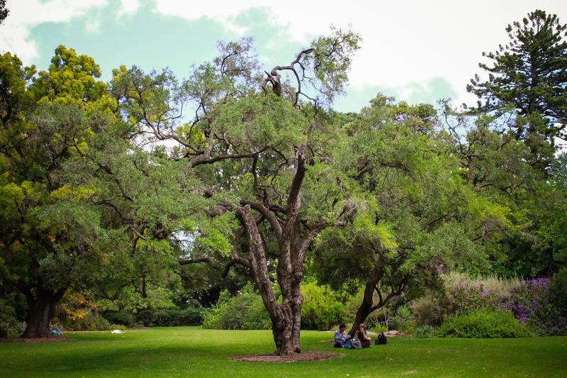 Adelaide Botanic Garden: Sweet Bursaria