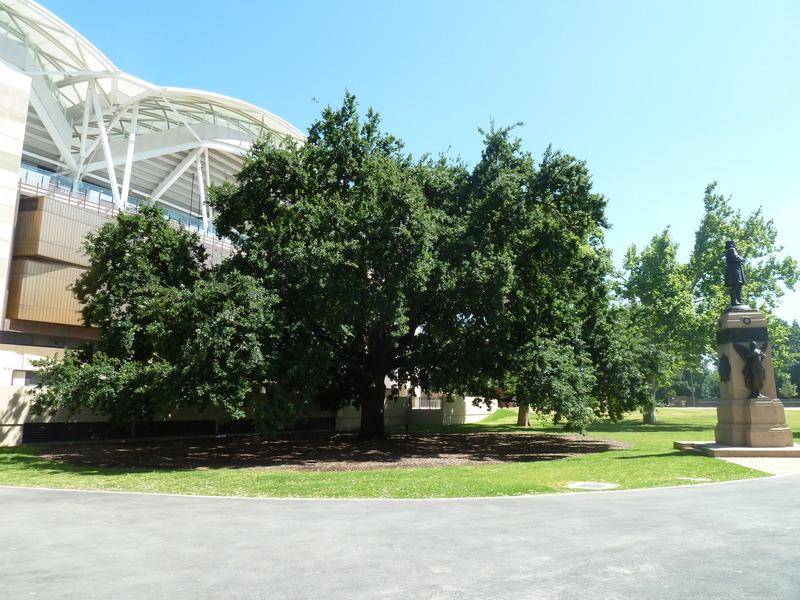 War Memorial Oak