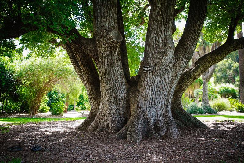 Camphor Laurel, Adelaide Botanic Garden