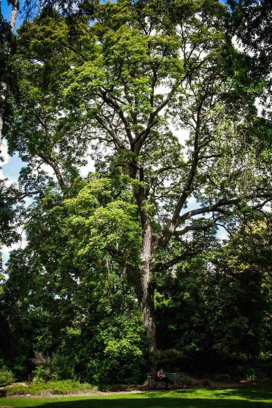 Australian Red Cedar, Adelaide Botanic Garden