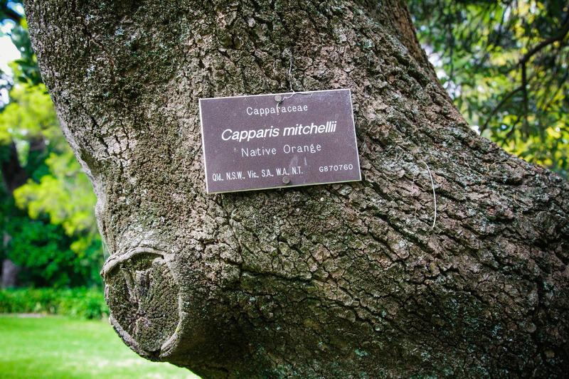 Adelaide Botanic Garden: Native Orange