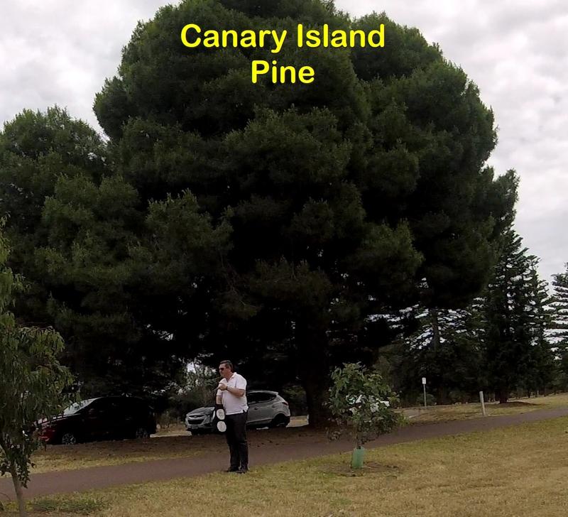 Canary Island pine tree
