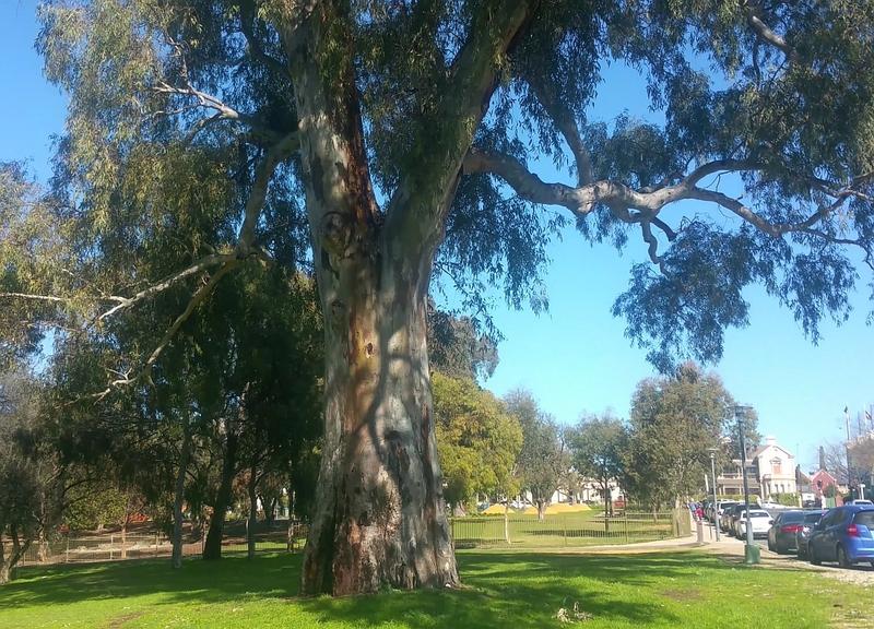 19th century River red gum (Eucalyptus camaldulensis) off East Terrace in King Rodney Park / Ityamai-itpina (Park 15)